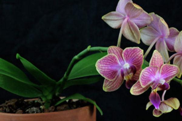 phalaenopsis im glas. Black Bedroom Furniture Sets. Home Design Ideas