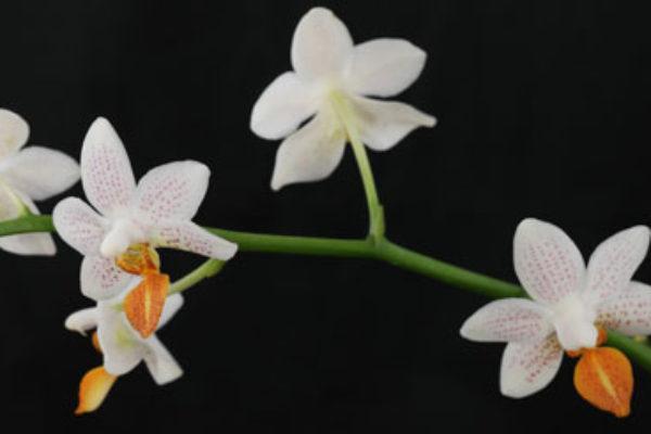 phalaenopsis equestris. Black Bedroom Furniture Sets. Home Design Ideas