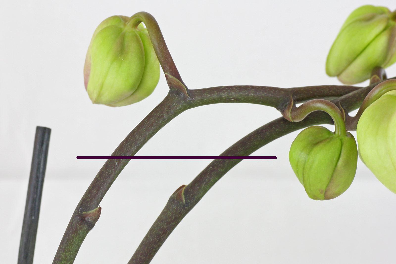 Phalaenopsis-Blütentrieb
