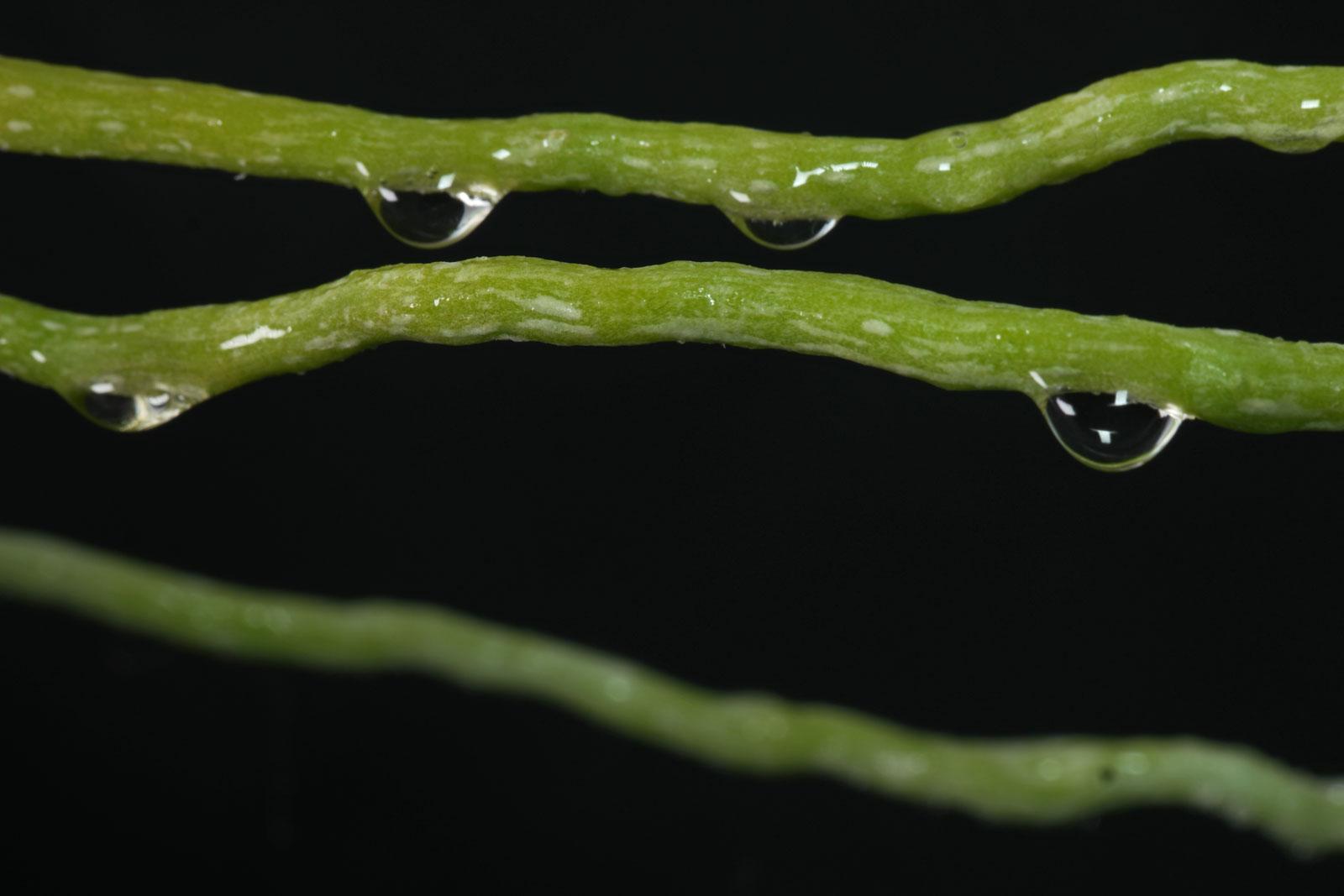 Phalaenopsis-Luftwurzeln