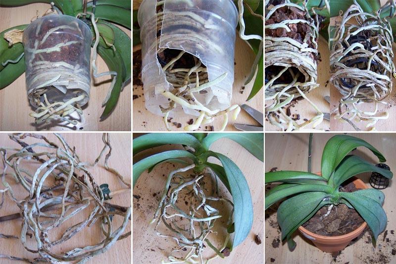 orchidee umtopfen wann