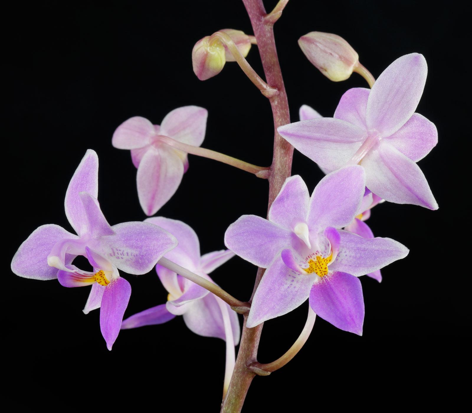 Phalaenopsis equestris var rosea