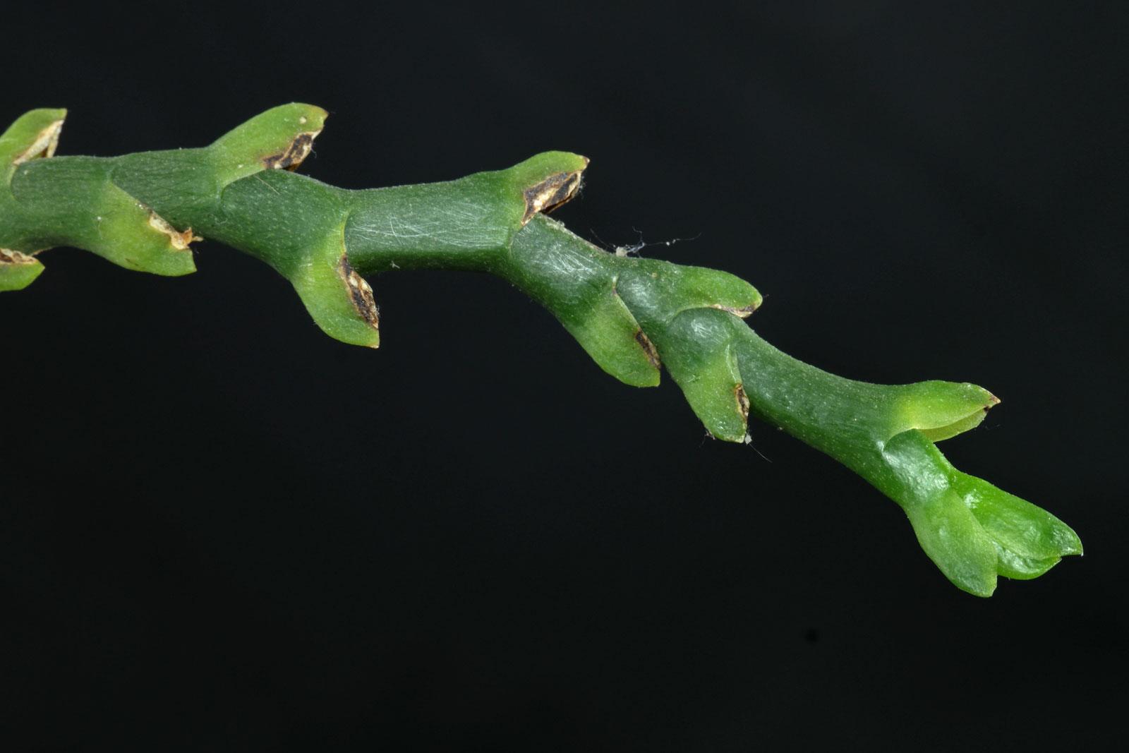 Phalaenopsis venosa Blütentrieb